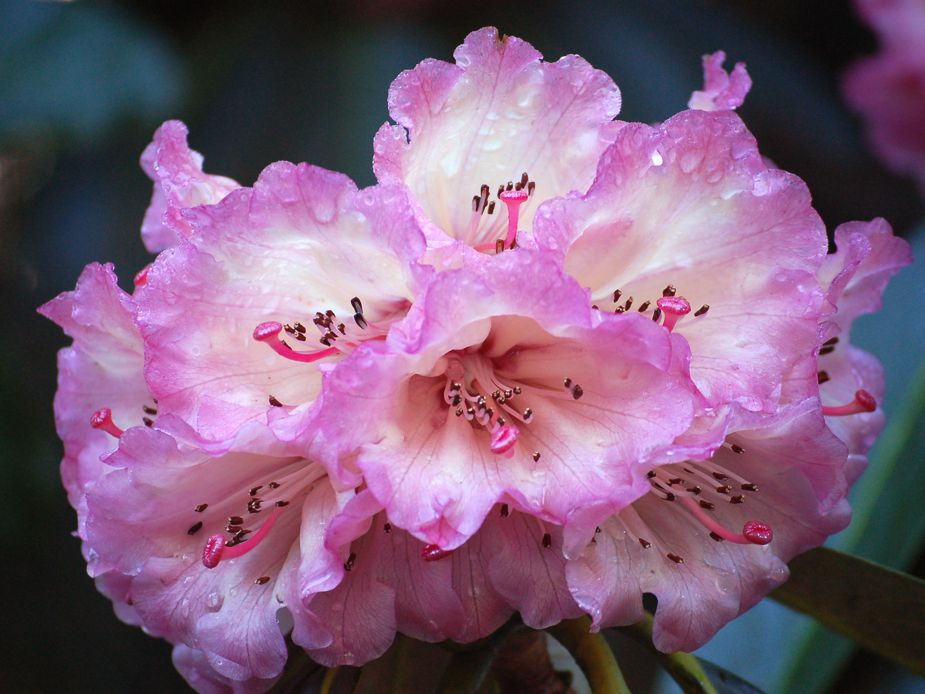Rhododendron 'Jack Anderson' in Spring